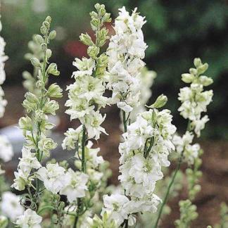 A Delphinium consolida 'QIS White' - fehér szarkaláb duplavirágai közelről