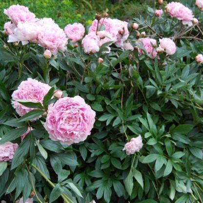 A lágyszárú bazsarózsák sötétzöld, osztott levelei a virágzás után is díszítik kertünket