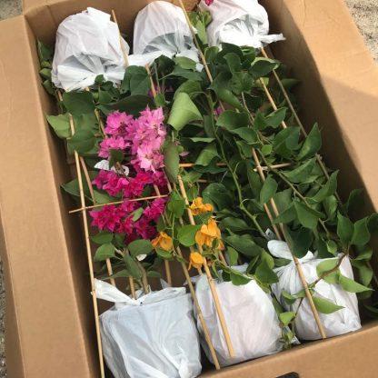 csomagolt bougainvillea kiszállítás a Florapont kínálatában