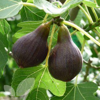Ficus carica Brown Turkey füge