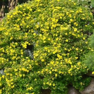 Potentilla fruticosa Kobold pimpó bokor