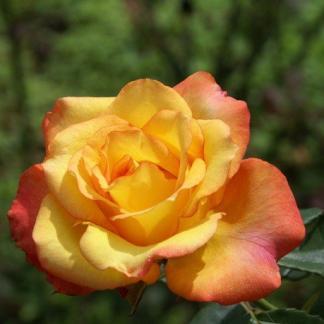 Rosa Animo narancssárga ágyásrózsa