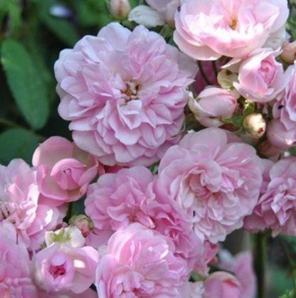 Rosa Belle de Sardaigne rózsaszín futórózsa