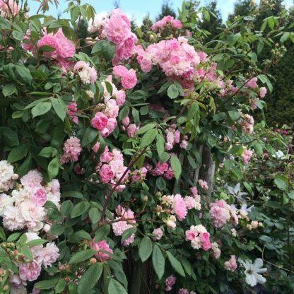 Rosa 'Belle de Sardaigne™' - rózsaszín futórózsa 1 A<strong> Rosa 'Belle de Sardaigne™' - rózsaszín futórózsa, climber </strong>folyamatosan nyíló, apróbb virágú, halványrózsaszín színű futórózsa. <em>Kiszerelés: konténeres, 2 literes</em>