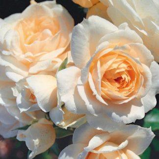 Rosa Champagner fehér ágyásrózsa