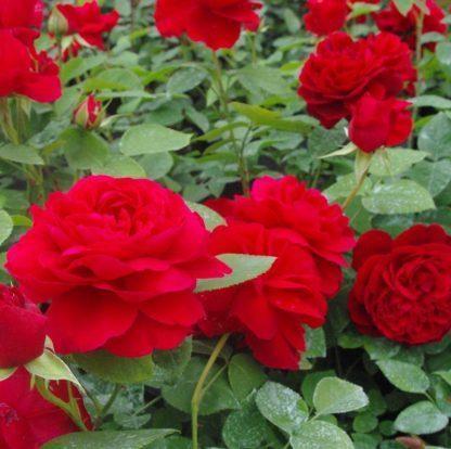 Rosa Diablotin vörös ágyásrózsa