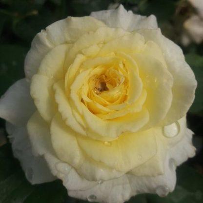 Rosa Diana sárga ágyásrózsa