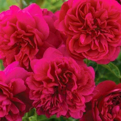 Rosa Kisses of Fire vörös futórózsa
