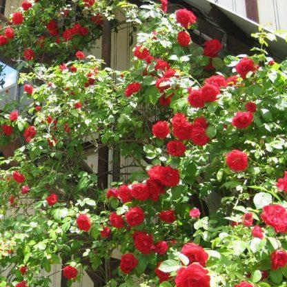 Rosa Kisses of Fire vörös futórózsa2