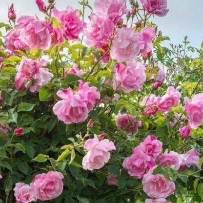 Rosa Madame Grégoire Staechelin rózsaszín kúszórózsa