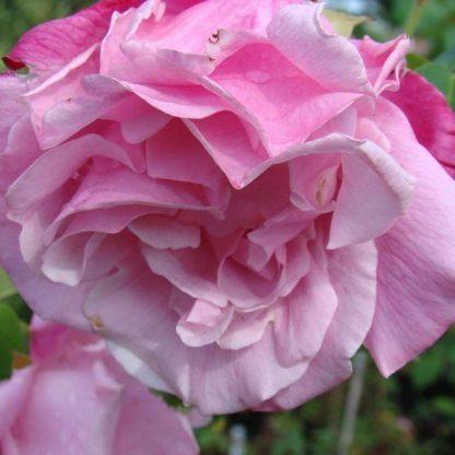 Rosa Madame Grégoire Staechelin rózsaszín kúszórózsa virág