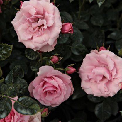 Rosa Regéc rózsaszín ágyásrózsa