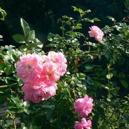 Rosa Souvenir de J. Mermet rózsaszín kúszórózsa