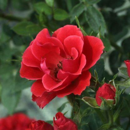 Rosa Tara Allison vörös talajtakaró