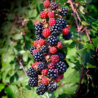Rubus fruticosus Loch Ness tusketlen szeder