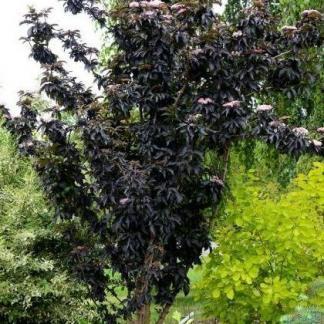 Sambucus nigra Black Tower bodza