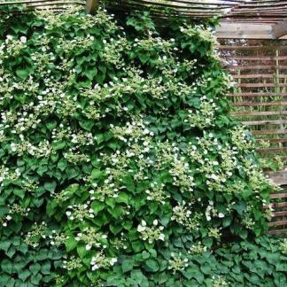 Schizophragma hydrangeoides japán kúszó hortenzia