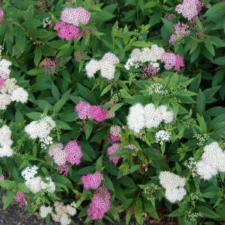 Spiraea japonica Genpei japán gyöngyvessző virág