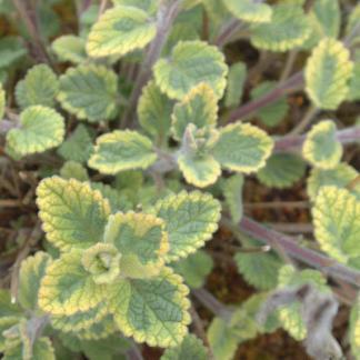 Nepeta fassenii Six Hill Gold macskamenta virág