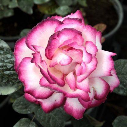 Rosa Atlas fehér rózsaszín teahibrid