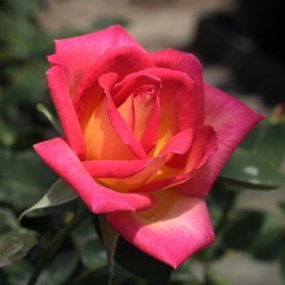 Rosa Colorama vörös sárga teahibrid
