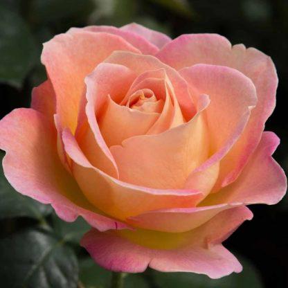 Rosa Elle sárga rózsaszín teahibrid
