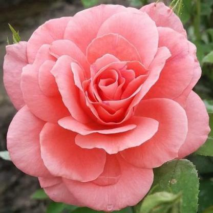 Rosa Favorite narancssárga rózsaszin ágyásrózsa