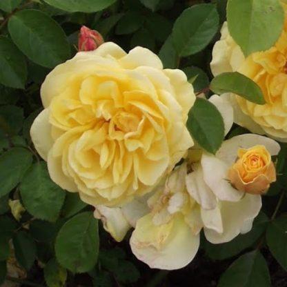 Rosa Golden Delight sárga ágyásrózsa
