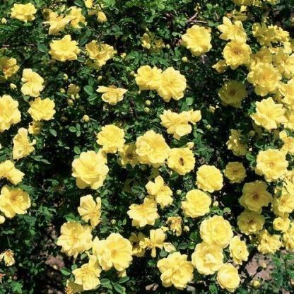 Rosa Golden Delight sárga ágyásrózsa bokor