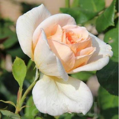 Rosa Grand Mogul fehér teahibrid