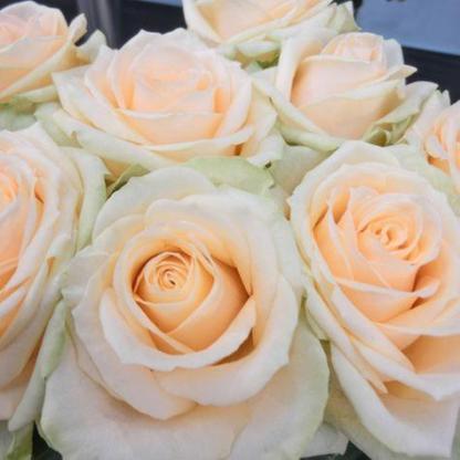 Rosa Grand Mogul fehér teahibrid2