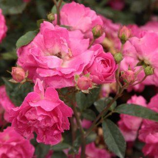 Rosa Lippay János rózsaszin ágyásrózsa