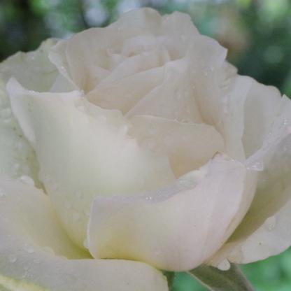 Rosa Métro fehér teahibrid rózsa
