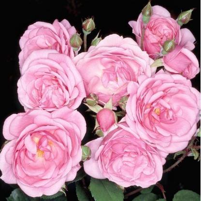 Rosa-Milrose-rozsaszin-agyasrozsa
