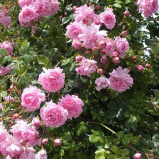 Rosa Nagyhagymás rózsaszin ágyásrózsa