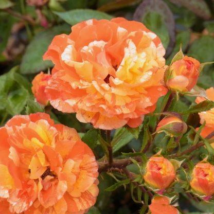 Rosa-Papagena-sarga-narancssarga-agyasrozsa