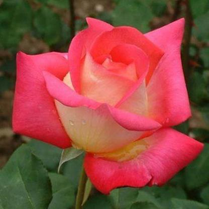 Rosa Rebecca vörös sárga teahibrid