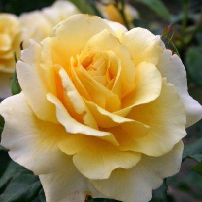Rosa Sunny Sky sárga teahibrid