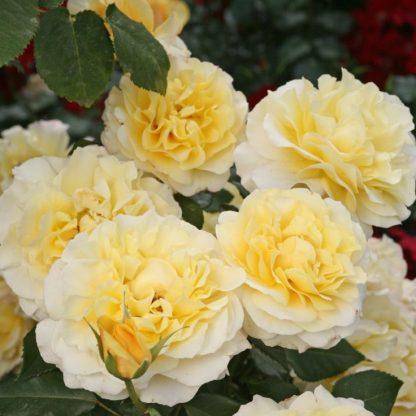 Rosa Sunny Sky sárga teahibrid2