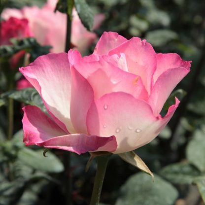 Rosa Tourmaline fehér rózsaszín teahibrid