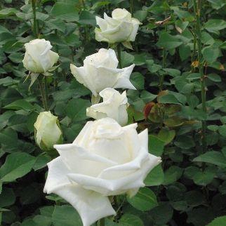 Rosa Varo Iglo fehér teahibrid
