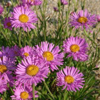 Aster alpinus Happy End őszirózsa virág