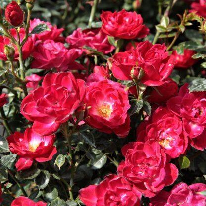 Rosa Dopey vörös ágyásrózsa