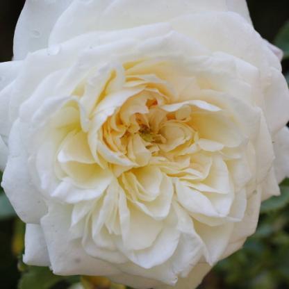 Rosa Eliane Gillet fehér romantikus rózsa