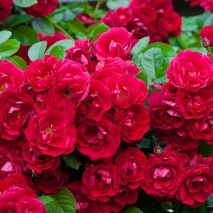 Rosa Fairy Dance vörös ágyásrózsa