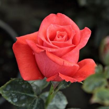 Rosa Prominent vörös ágyásrózsa