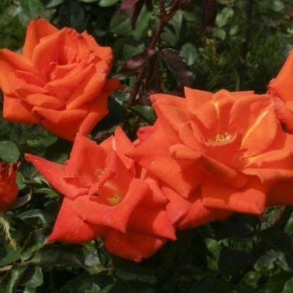 Rosa Prominent vörös ágyásrózsa2