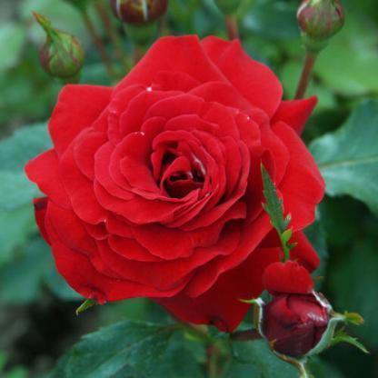 Rosa Resolut vörös ágyásrózsa