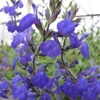 Salvia greggii Blue Note őszi zsálya virág