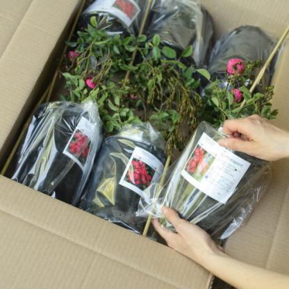 Csomagolt 2 literes konténeres rózsa a Florapontnál